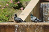 Les pigeons dans la fontaine